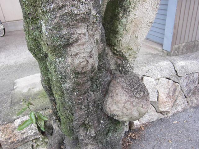 人面こぶの木.JPG