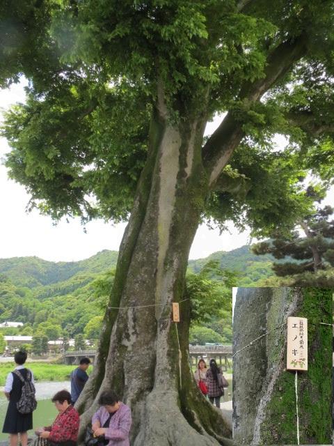 嵐山のエノキ.JPG