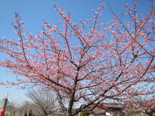 桜・1.JPG