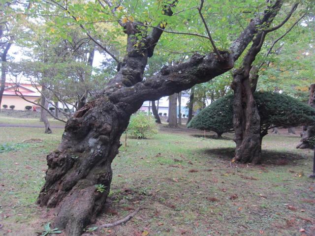 2・香雪園老木.JPG