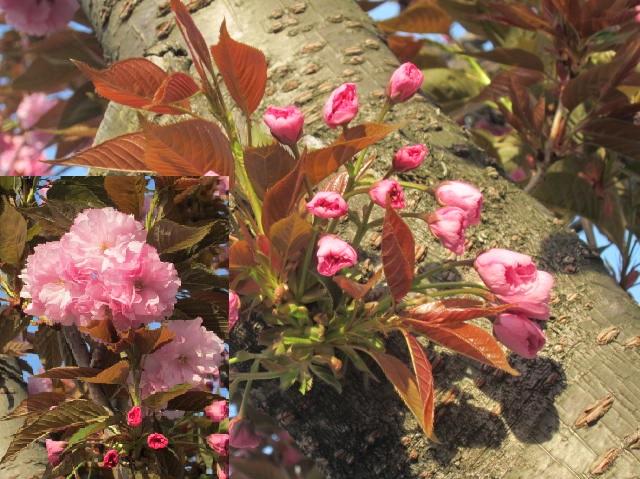 八重桜・3.JPG