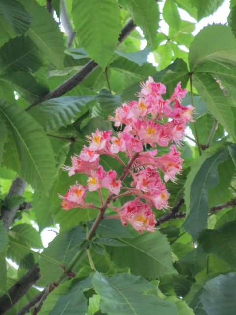 刈谷の街路樹・1.JPG