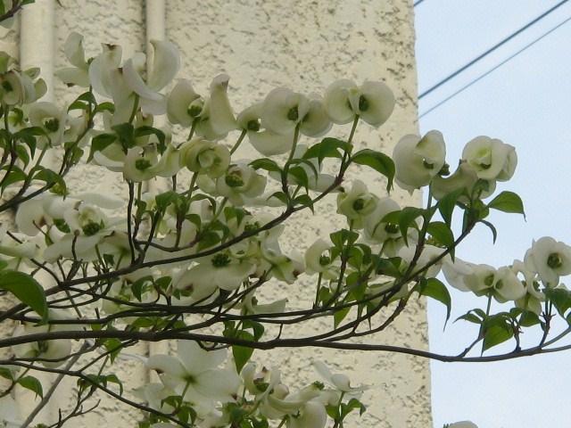 白い花ミズキ.JPG