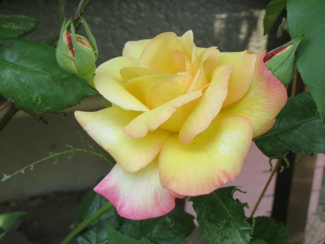 薔薇・1.JPG