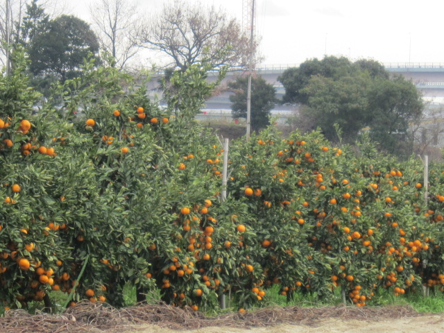 街道のミカン畑.JPG