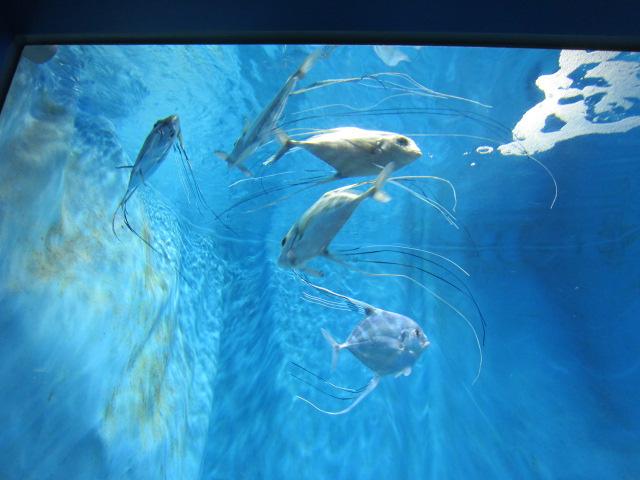 2・水族館イトヒキアジ1.JPG