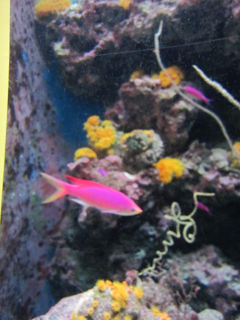 2・水族館ピンク魚.JPG