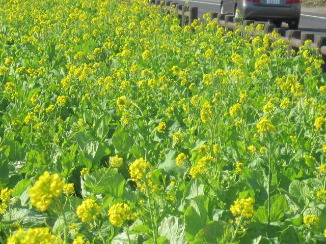 3・池田湖と菜の花2.JPG